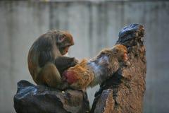 обезьяна непослушная стоковые фото