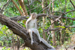 Обезьяна Обезьяна живет в природе Обезьяна на дереве Стоковые Фото