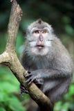 обезьяна одичалая Стоковое Фото