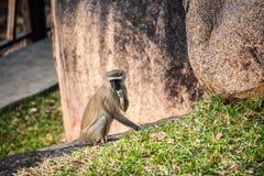 обезьяна одичалая Стоковая Фотография RF