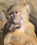 обезьяна павиана маленькая Стоковые Изображения