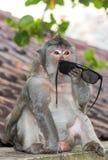 Обезьяна пробуя понимать пользу пары солнечных очков стоковое фото rf