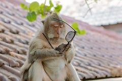 Обезьяна пробуя понимать пользу пары солнечных очков стоковая фотография