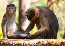 Обезьяна резуса в Индии стоковые изображения rf