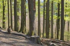 Обезьяна самостоятельно в лесе стоковое фото rf