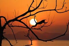 Обезьяна силуэта скачет на безлистные деревья и красный заход солнца неба Стоковые Фотографии RF