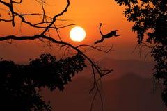 Обезьяна силуэта скачет на безлистные деревья и красный заход солнца неба Стоковое фото RF