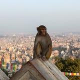 Обезьяна сидя на стене Swayambhunath Стоковое фото RF