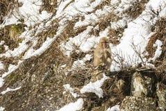 Обезьяна снега вне на лимбе, еде в руке Стоковая Фотография RF