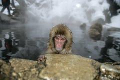 Обезьяна снега или японская макака, fuscata Macaca Стоковые Фото