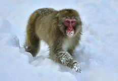 Обезьяна снега японский macaque Стоковое Изображение