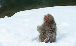 Обезьяна снега японский macaque стоковое изображение rf