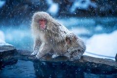 Обезьяна снега Стоковое Изображение