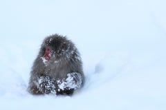 Обезьяна снега Стоковое Фото