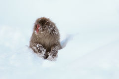 Обезьяна снега Стоковая Фотография