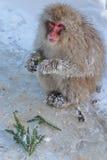 Обезьяна снега Стоковые Фотографии RF