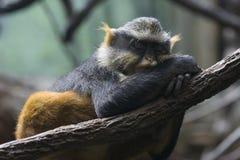 обезьяна сонная стоковая фотография rf