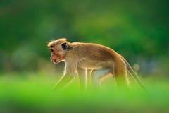 Обезьяна спрятанная в траве Макака Toque, sinica Macaca, обезьяна с солнцем вечера Макака в среду обитания природы, Шри-Ланке Дет Стоковые Изображения RF