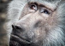 обезьяна старая Стоковые Фото