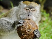 Обезьяна сдерживая кокос стоковое фото rf