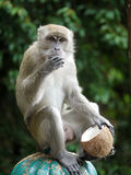 Обезьяна с кокосом стоковое изображение rf