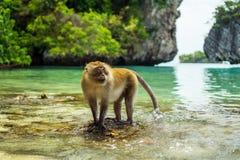 обезьяна Таиланд Зона Phi Phi стоковое фото