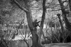 обезьяна унылая Стоковое Изображение RF