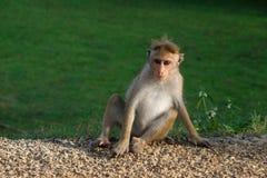 Обезьяна усаживая настолько крутое в природе, Шри-Ланка, Азия стоковое изображение rf