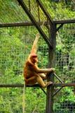 Обезьяна хоботка или длинн-обнюханная обезьяна Стоковые Фотографии RF