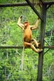 Обезьяна хоботка или длинн-обнюханная обезьяна Стоковая Фотография RF