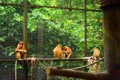 Обезьяна хоботка или длинн-обнюханная обезьяна Стоковые Изображения RF