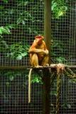 Обезьяна хоботка или длинн-обнюханная обезьяна Стоковая Фотография