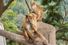 обезьяна Цейлон-шляпы есть банан стоковое изображение rf