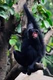 Черная обезьяна на дереве Стоковая Фотография