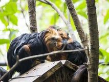 обезьяна шерстистая Стоковые Фото