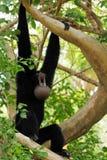 обезьяна шумная стоковая фотография rf
