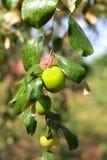 Обезьяна Яблоко стоковое изображение