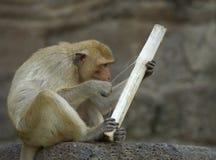 обезьяна 21 Стоковые Изображения
