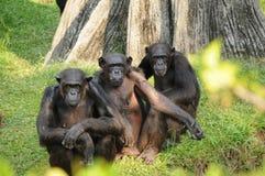 обезьяна 3 Стоковое Изображение RF