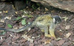 обезьяна 4 малая Стоковые Изображения