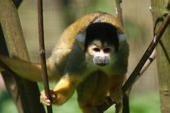 обезьяна Стоковое Фото