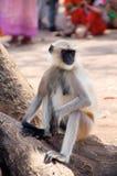 обезьяна Стоковые Изображения RF