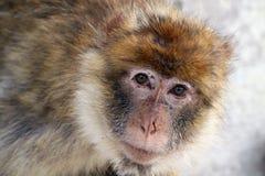 обезьяна barbary Стоковое фото RF
