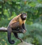 Обезьяна Capuchin Брайна Стоковые Изображения