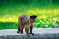 Обезьяна Capuchin Брайна Стоковая Фотография RF