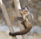 Обезьяна Capuchin на дереве Стоковая Фотография