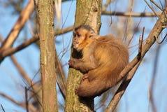 обезьяна capuchin стоковое фото rf
