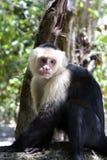 обезьяна capuchin VI Стоковая Фотография