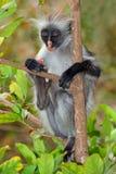 Обезьяна colobus Занзибара красная Стоковая Фотография