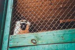 обезьяна grivet Стоковое Изображение